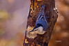 WHITE BREATED NUTHATCH