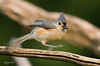 THis tufted titmouse did a quick turn around while I was taking the photo.