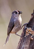 TUFTED TITMOUSE--THIS BIRDS LOOKS LIKE IT WAS BEAT UP BY SOMETHING