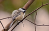 BLACK CAPPED CHICKADEE IN FIGHT MODE