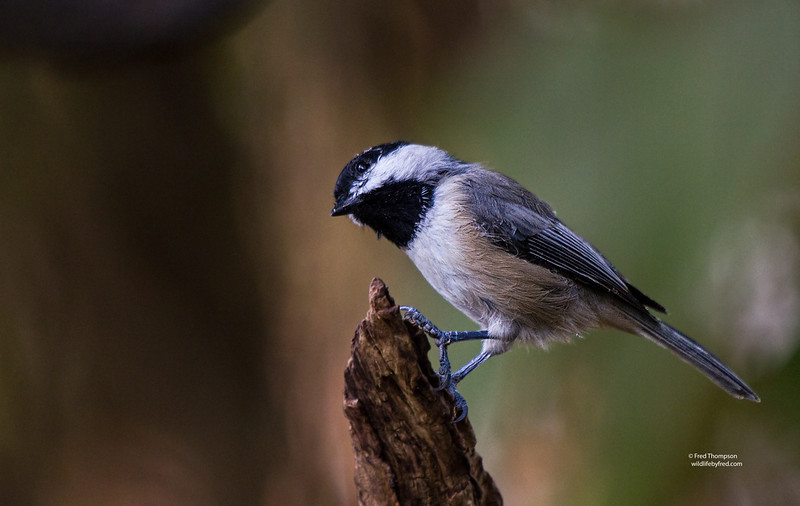 NUT HATCHES--CHICKADEES--TITMOUSE--FINCHES