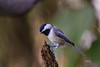 BLACK CAPPED CHICKADEE (JUVENILE)