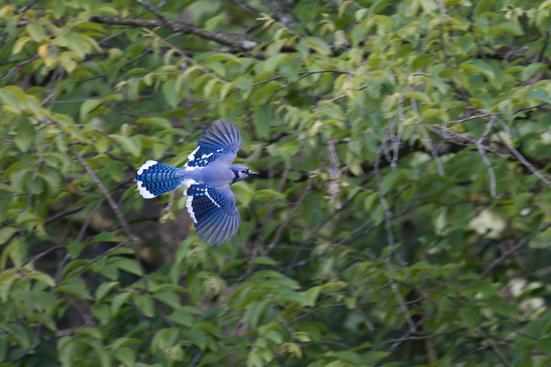 Blue Jay flies past greenery, wings and tailfeathers spread • Pleasant Valley Preserve, Marcellus, NY • 2020
