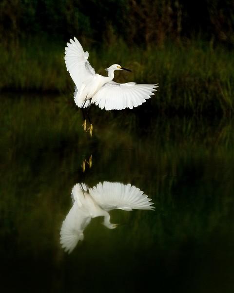 Class3D_HM_bill corbett_assawoman great egret