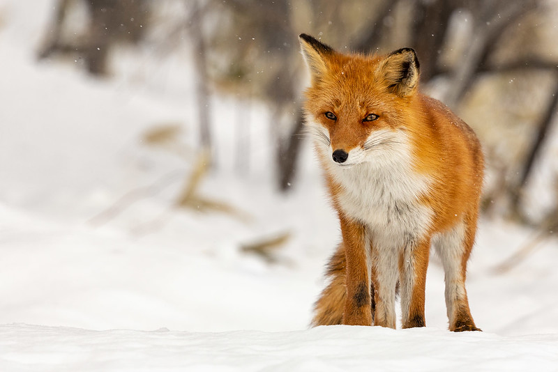 Class1C_2nd_Ed Short_Hokkaido Fox