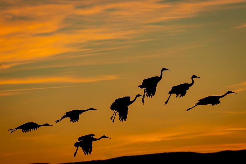 Class2D_2nd_Doug O'Boyle_Sandhill cranes Landing At Sunset At Bosque Del Apache