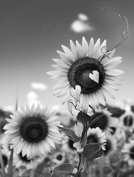 Class2M_2nd_Stephanie Reavley_D'Vine' Sunflower_