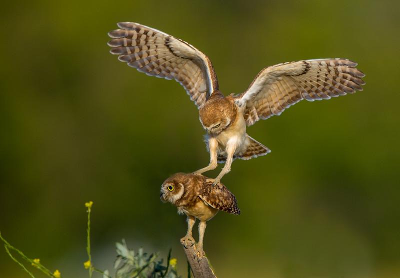 Class3D_2nd_Kimxuan Nguyen_Burrow Owls