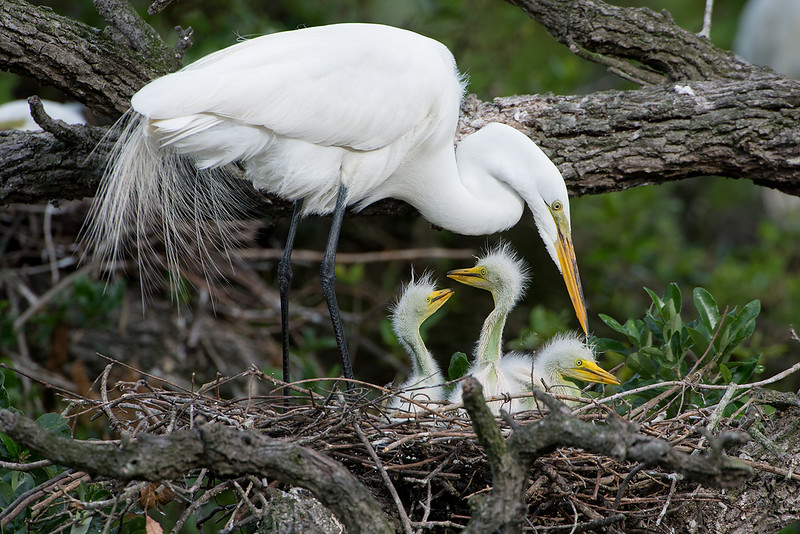Egret With Young