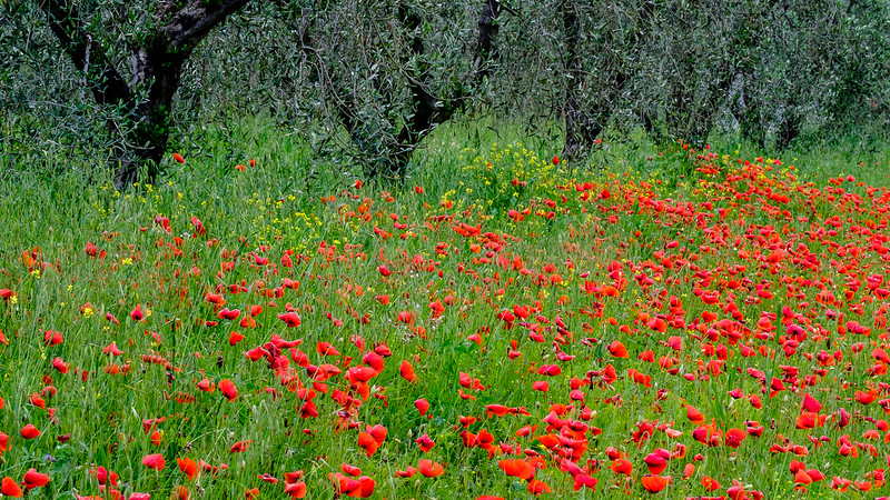 Tuscany Meadow
