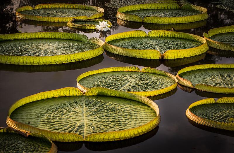 Sunrise Lilypads