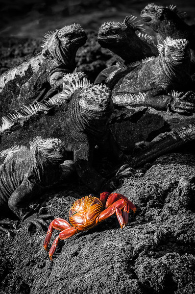 Sally Lightfoot Crab and Marine Iguanas