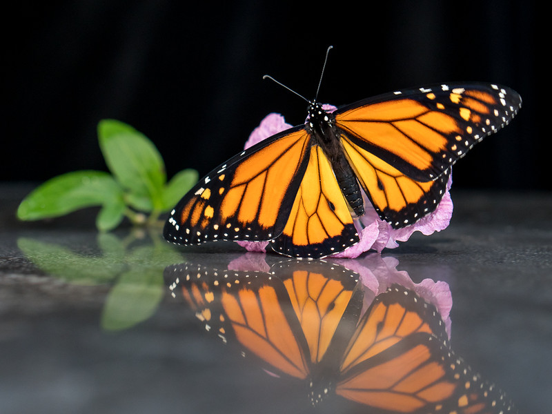 Mike Whalen - The Monarch - Lifeline for a Disappearing Icon