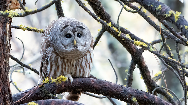 Barred Owl Watching Squirrel