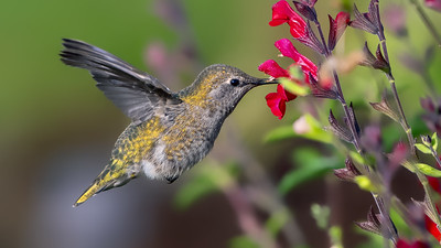 Anna's Hummingbird Visiting Crimson Salvia