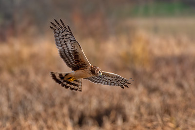 Northern Harrier Hen