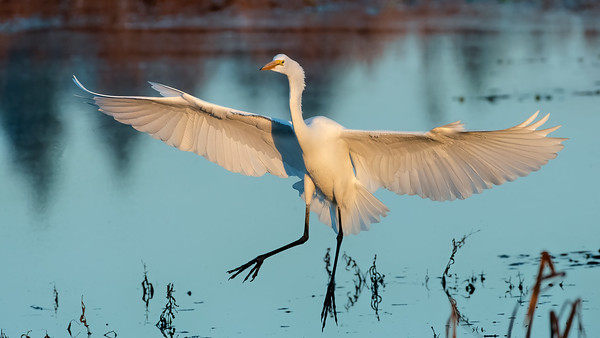 Great Egret Landing with a Fish Story