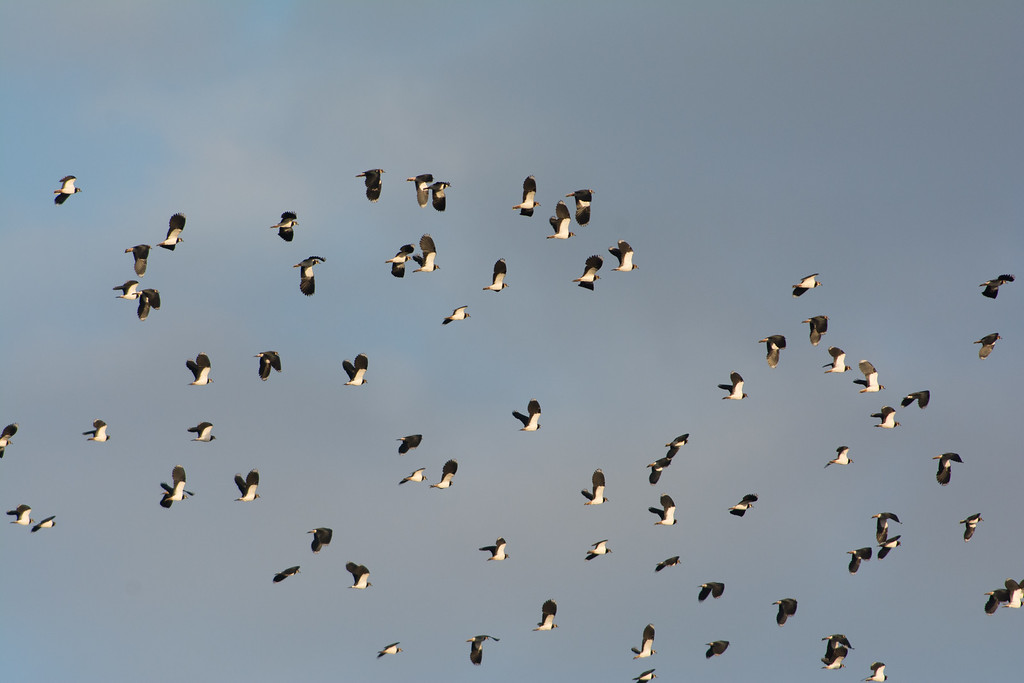 Whole bunch of lapwings