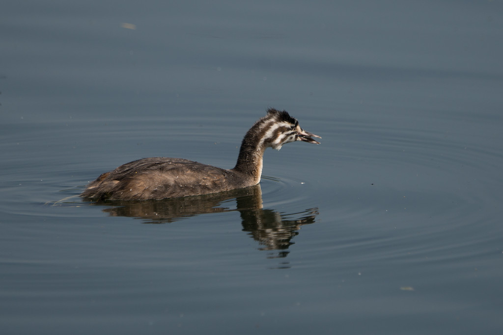 Great crested grebe, immature