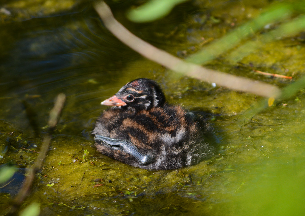 Little grebe, chick
