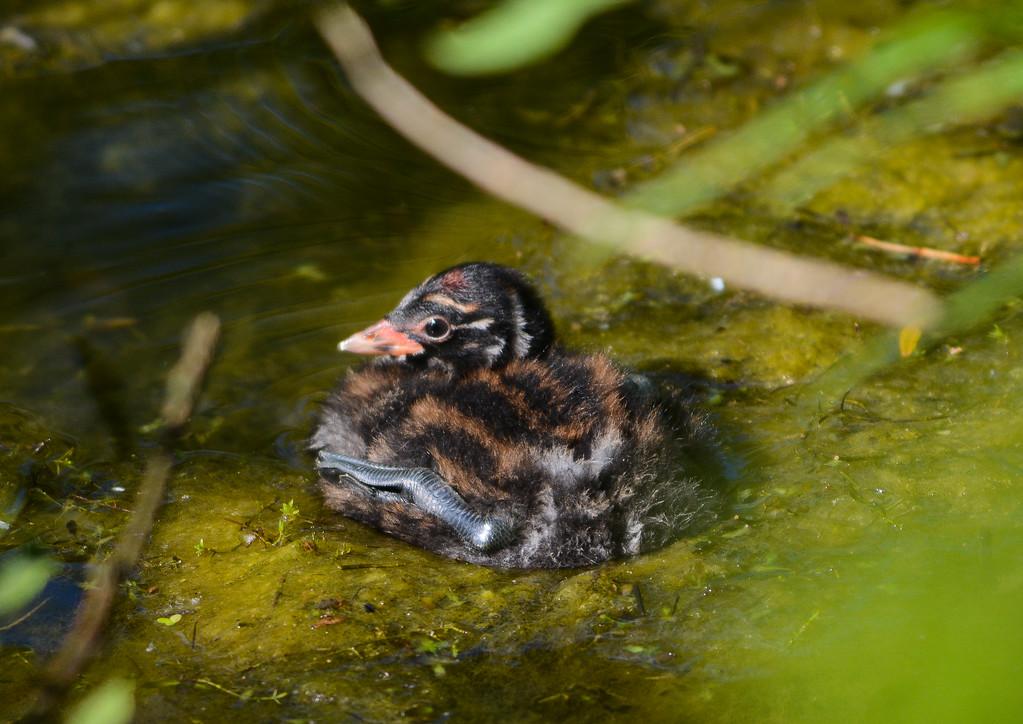 Little grebe, chick