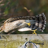 Sparrowhawk falling off a perch!