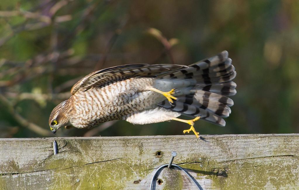 Sparrowhawk falling off a perch!