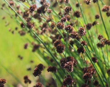 Grass, Juncus ensifolius Foliage