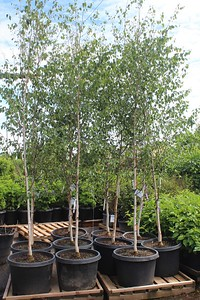 Betula jacquemontii 1 5 in #25 Group