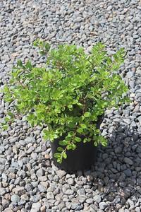 Archtostaphylos uva-ursi #1