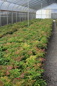 Mahonia aquifolium #5 Mass