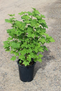 Ribes sanguineum #5