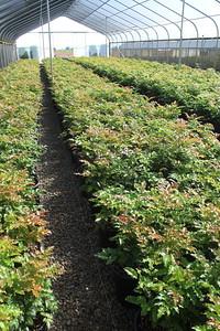 Mahonia aquifolium 'Kathy' #5 Mass (2)