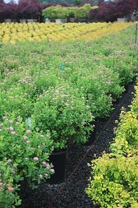 Spiraea densiflora #5 Flowering Mass