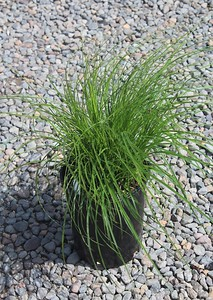 Grass, Carex densa #1