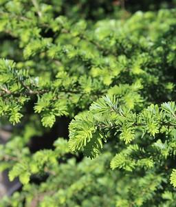 Tsuga heterophylla Foliage