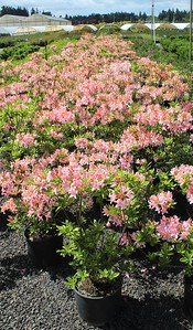 Rhododendron occidentalis 15-18 in #3 Mass