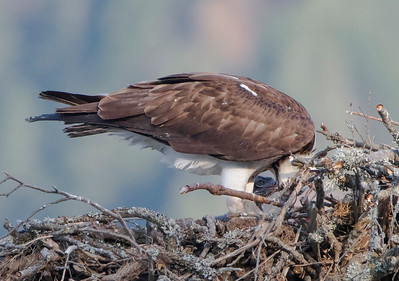 Osprey Feeding Chick