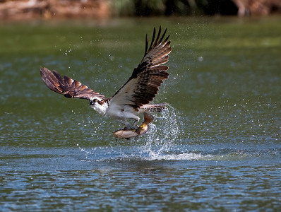 Osprey Success