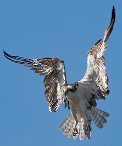 Incoming Male Osprey