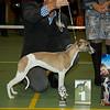 Beste Jonge Hond Whippet Teef: Of Summer's Joy Gelsey (E. Grevelt)