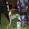 Beste Jonge Hond Whippet Reu: Sunbeam Highlander of Starline (H. Brom & A. Punte)