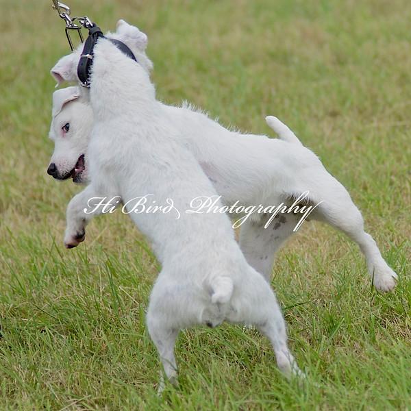 terrier pairs 2392.jpg