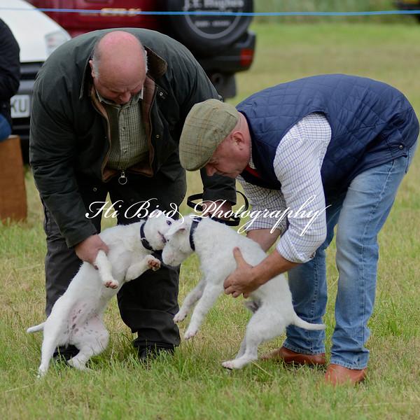 terrier pairs 2390.jpg