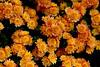Kiku: The Art of Japanese Chrysanthemum