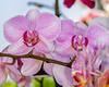 NY Botanical Gardens - 2006 Orchid Show