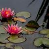 NY Botanical Gardens - Peggy Rockefeller Rose Gardens
