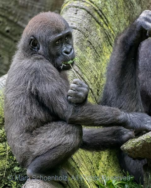Gorilla (Western Lowland)