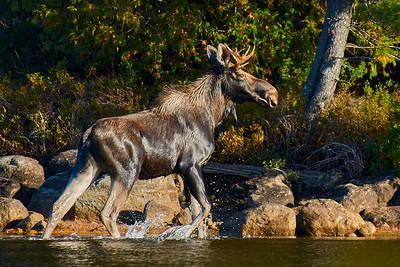 Moose at Elk Lake 1