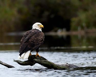 Bald Eagle on Elk Lake